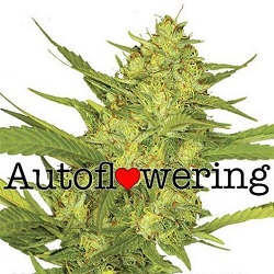 Buy Sour Diesel Auto Seeds