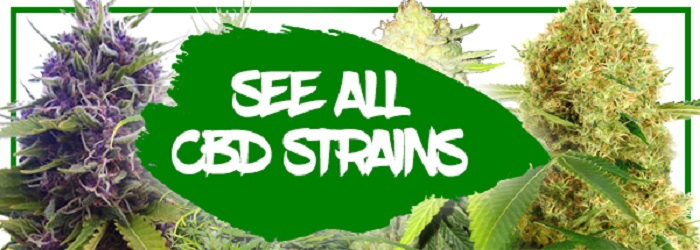 CBD Auto Seeds For Sale