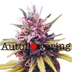 Buy Zkittlez Auto Seeds