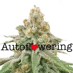 Wedding Cake Auto Seeds