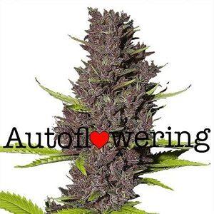 Buy Blue Dream Auto Seeds